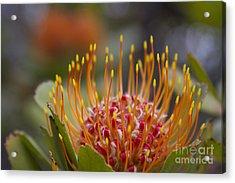 Leucospermum Pincushion Protea - Tropical Sunburst Acrylic Print by Sharon Mau