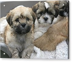 Lhasa Apso Puppy Painting Acrylic Print by Marvin Blaine