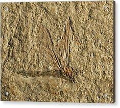 Libelluloidea Dragonfly Fossil Acrylic Print by Gilles Mermet