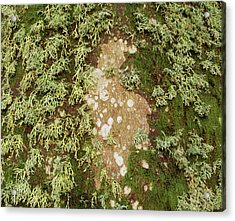 Lichen And Moss On Beech Tree Acrylic Print by Simon Fraser/science Photo Library