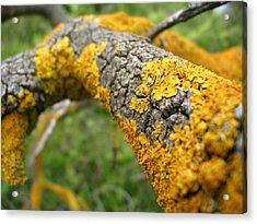 Lichen On Branch Acrylic Print