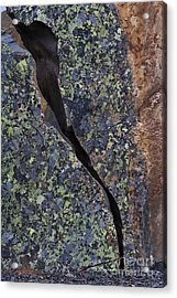 Lichen On Granite Acrylic Print by Heiko Koehrer-Wagner