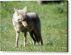Acrylic Print featuring the photograph Lick His Chops by Gary Wightman