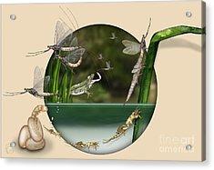 Life Cycle Of Mayfly Ephemera Danica - Mouche De Mai - Zyklus Eintagsfliege - Stock Illustration - Stock Image Acrylic Print