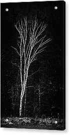Life's A Birch No.2 Acrylic Print by Mark Myhaver