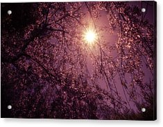Light And Cherry Blossoms Acrylic Print by Vivienne Gucwa