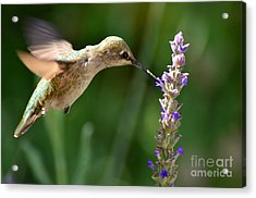 Light Filters Behind The Hummer Acrylic Print