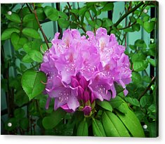 Light Purple Rhododendron Acrylic Print by Aimee L Maher Photography and Art Visit ALMGallerydotcom