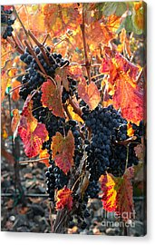Light Through Fall Vineyard Acrylic Print by Carol Groenen