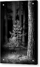 Lightpainting The Pine Forest New Growth Acrylic Print