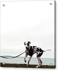 Like A Puppy On A String Acrylic Print by Richard Lawrence