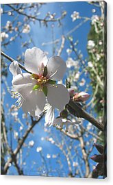 Like Stars In The Sky - Almond Blossoms Of Spring Acrylic Print by Brooks Garten Hauschild