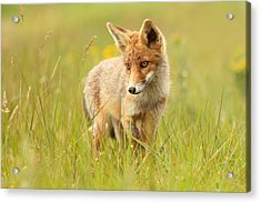Lil' Hunter - Red Fox Cub Acrylic Print by Roeselien Raimond