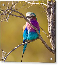 Lilac Breasted Roller Acrylic Print by Craig Brown