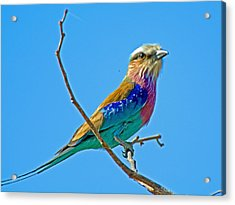 Lilac-breasted Roller In Kruger National Park-south Africa Acrylic Print by Ruth Hager