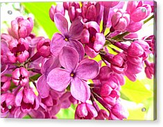 Lilac Closeup Acrylic Print by The Creative Minds Art and Photography