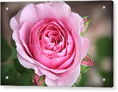 Lilac Rose Acrylic Print by CarolLMiller Photography