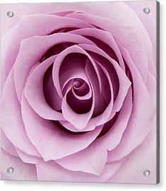 Lilac Rose Acrylic Print