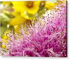 Lilac Sering Blossom Acrylic Print by Yvon van der Wijk