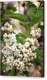 Lilac (syringa Vulgaris 'beauty Of Moscow') In Flower Acrylic Print by Maria Mosolova/science Photo Library