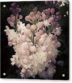 Lilacs Are Blooming Acrylic Print by Christy Beckwith
