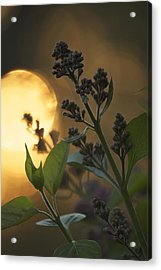 Lilacs At Sunset Acrylic Print