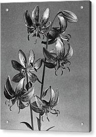 Lilium Hansonii Acrylic Print