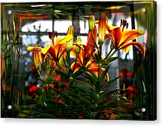 Lilium Acrylic Print by Nigel Watts