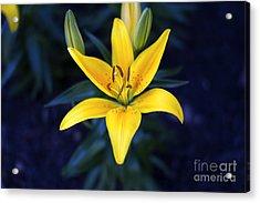 Lillies At Dusk Acrylic Print by Thanh Tran