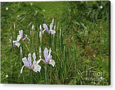 Lillies Of The Field Acrylic Print by Jennifer Apffel