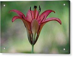 Lillium Philadelphicum Acrylic Print by Diana Boyd
