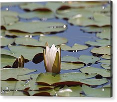 Lilly Pad With Bloom Acrylic Print by Daralyn Spivey