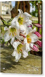 Lilly The Pink Acrylic Print by Darren Wilkes