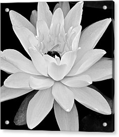 Lilly White Acrylic Print by Frozen in Time Fine Art Photography