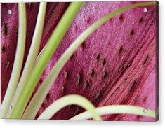 Lily 02 Acrylic Print