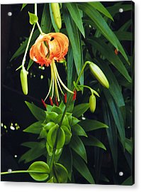 Acrylic Print featuring the photograph Lily Bloom by Debra Crank