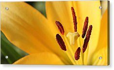 Lily Brilliance Acrylic Print by James Hammen