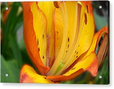 Lily - Close Up Acrylic Print