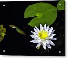 Lily From The Black Lagoon Acrylic Print by Frank Feliciano