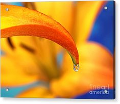 Lily In A Dew Drop Acrylic Print by Pattie Calfy