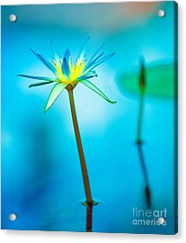 Lily In Blue Acrylic Print
