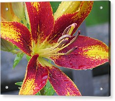 Lily In My Patio Acrylic Print by Sonali Gangane