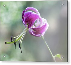 Lily In The Mist Acrylic Print by Jill Balsam