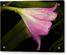 Lily In The Rain Acrylic Print
