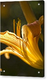 Lily In The Yard Acrylic Print by Daniel Sheldon