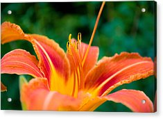 Acrylic Print featuring the photograph Lily Lies by Rhys Arithson
