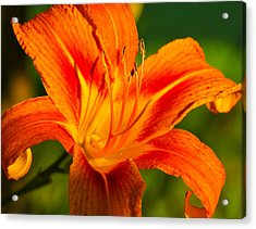Acrylic Print featuring the photograph Lily by Linda Segerson