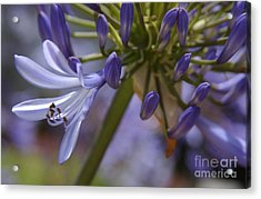 Lily Of The Nile In Pacific Beach Acrylic Print