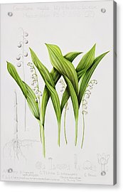 Lily Of The Valley Acrylic Print by Sally Crosthwaite