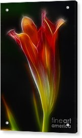 Lily Opening-5964 Acrylic Print by Gary Gingrich Galleries